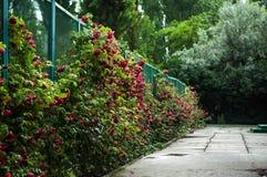 Mucho la flor hermosa subió con descensos Imagen de archivo libre de regalías