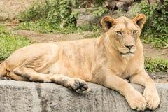 Mucho león en el bosque Foto de archivo libre de regalías