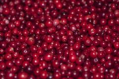 Mucho lingonberry Foto de archivo