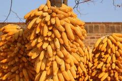 Mucho maíz en la mazorca Foto de archivo libre de regalías