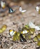 Mucho mariposa en el flujo en el salvaje Fotos de archivo