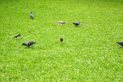 Mucho pájaro asiático en hierba verde Imagen de archivo