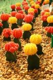 Mucho pequeño cactus rojo, amarillo colorido está en piedra marrón Foto de archivo