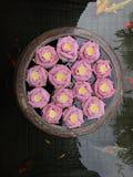 Mucho primer rosado de la flor de loto Imagen de archivo libre de regalías