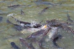 Mucho tiburón iridiscente Imágenes de archivo libres de regalías