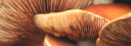 muchomor zdjęcie stock