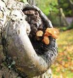 Muchomoru dorośnięcie w wydrążeniu drzewo Zdjęcie Royalty Free