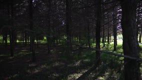 Muchos árboles coníferos plantaron almacen de metraje de vídeo