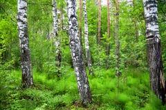 Muchos árboles de abedul blanco en un claro en un bosque verde Imagen de archivo libre de regalías