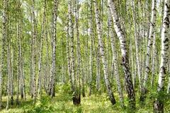 Muchos árboles de abedul en el bosque Imágenes de archivo libres de regalías