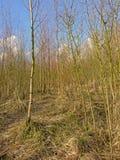 Muchos árboles de abedul jovenes en un día de invierno soleado Imagenes de archivo