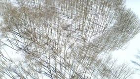 Muchos árboles de Aspen en el top de un canto en invierno con nieve en la tierra metrajes