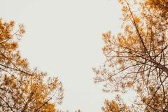 Muchos árboles de pino que suben en bosque Fotografía de archivo
