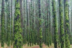 Muchos árboles dentro del bosque demasiado grande para su edad con el musgo Imagen de archivo libre de regalías