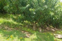 Muchos árboles frutales de la nectarina que crecen por la colina Fotografía de archivo