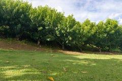 Muchos árboles frutales de la nectarina que crecen por la colina Fotos de archivo libres de regalías