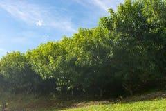 Muchos árboles frutales de la nectarina que crecen por la colina Imagen de archivo