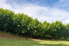 Muchos árboles frutales de la nectarina que crecen por la colina Imagenes de archivo