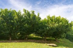 Muchos árboles frutales de la nectarina que crecen por la colina Imagen de archivo libre de regalías