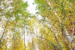 Muchos abedules amarillos y verdes en bosque del otoño Imágenes de archivo libres de regalías