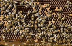 Muchos abejas de trabajo en el panal Foto de archivo libre de regalías