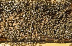 Muchos abejas de trabajo en el panal Foto de archivo