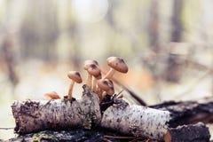 Muchos agáricos de la miel en una vieja rama del abedul La colección Sun de la seta del bosque del otoño irradia entonando el foc Imágenes de archivo libres de regalías