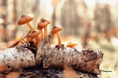 Muchos agáricos de la miel en una vieja rama del abedul La colección Sun de la seta del bosque del otoño irradia entonando el foc Imagenes de archivo