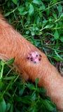 Muchos aguijones de las moscas se hieren en la pierna de un perro imágenes de archivo libres de regalías