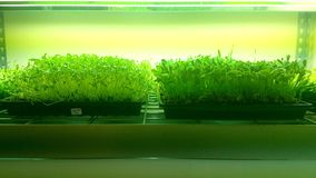Muchos alm?cigos org?nicos mano-se riegan y se crecen con cuidado en suelo con aire fresco y luz del sol fotografía de archivo