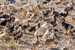 Muchos anadones en la granja del pato Fotografía de archivo