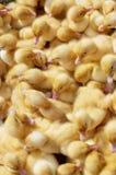 Muchos anadones recién nacidos coloreados Fotografía de archivo libre de regalías