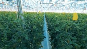 Muchos arbustos con los tomates metrajes