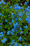 Muchos blueflowers con follaje verde en primavera Imagen de archivo