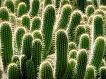Muchos cactus Fotografía de archivo