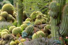 Muchos cactus de barril de oro imágenes de archivo libres de regalías