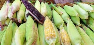 Muchos campos de maíz El maíz multicolor es maíz amarillo, violeta y tricolor imagen de archivo