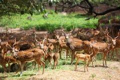 Ciervos manchados Imagen de archivo libre de regalías