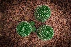 Muchos circundan el cactus de la forma en la visión superior en tono del vintage Imágenes de archivo libres de regalías