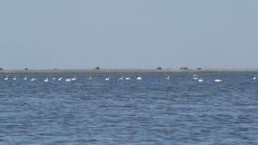 Muchos cisnes