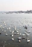 Muchos cisnes Imagen de archivo libre de regalías