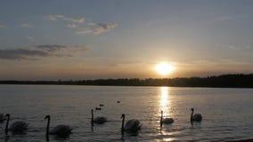Muchos cisnes blancos que nadan en el lago en puesta del sol metrajes