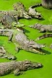Muchos cocodrilos en la gatería del cocodrilo Fotografía de archivo libre de regalías