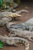 Muchos cocodrilos en la tierra Imagenes de archivo