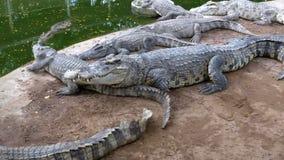 Muchos cocodrilos mienten cerca del agua del color verde Muddy Swampy River tailandia asia almacen de metraje de vídeo