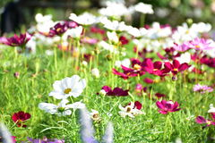 Muchos color de las flores del cosmos Fotografía de archivo libre de regalías