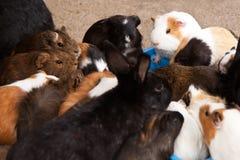 Muchos conejillos de Indias que comen la comida Imagen de archivo libre de regalías
