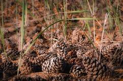 Muchos conos en la tierra en la luz del sol Primer, foco selectivo foto de archivo libre de regalías