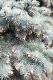 Muchos conos que cuelgan en abeto Imagen de archivo