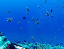 Muchos coralfishes del banderín y x28; Acuminatus& x29 de Heniochus; fondo Imágenes de archivo libres de regalías